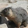 Marmot On The Summit Of Pyramid Peak