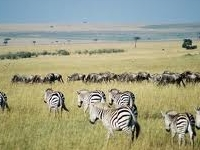 Maasai Zebra And Wildebeest