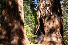 Giant Sequoia In Merced Grove