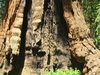 Methuselah Tree