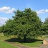 Midland Oak
