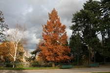 Montsouris Park Dawn Redwood