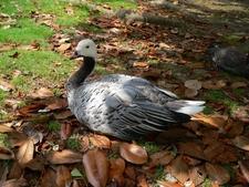 Montsouris Park Swan Goose