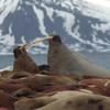 Walrus Colony On Prins Karl Forland