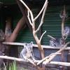 Mother And Baby Koalas At Lone Pine Koala Sanctuary