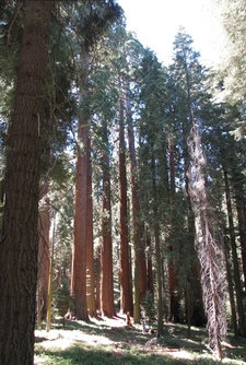 Muir Grove Hiker Standing Amidst Giant Sequoias In Muir Grove