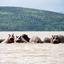 Naivasha Hippos