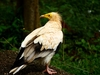 Neophron Percnopterus Vulture