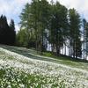 Narcissi Fields
