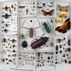 NCSU Insect Drawer