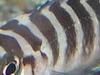 Neolamprologus Cylindricus In Lake Tanganyika