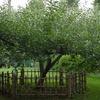 Newton Apple Tree