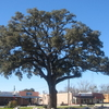 Oak Tree In Pleasanton