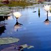 Okavango Water Lillies