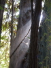 Old-Growth Coastal Redwoods