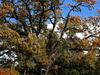 Old Oak Tree In  Florham  Park  N J