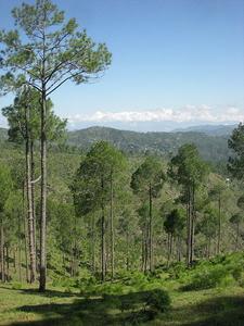 Open Pinus Roxburghii Forest, Almora