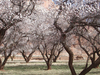 Orchards At Capitol Reef National Park - USA