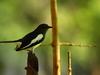 Oriental Magpie Robin In Habarana