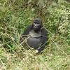 Oruzogo Mountain Gorilla @ Bwindi UG