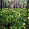 Osceola National Forest