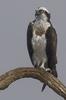 Osprey In Winter