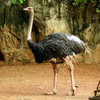 Ostrich At Dusit Zoo