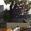 Old Jarrah Tree