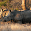 Rhino- Kruger National Park, South Africa