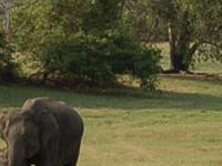 Elephants Gatherings In Minneriya