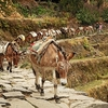 Pack Mules In Annapurna - Central Nepal