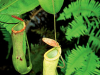 Padawan Pitcher Plant & Wild Orchid Garden