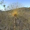 Paepalanthus Eriocaulaceae