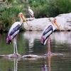 Painted Storks At Hesaraghatta Lake