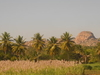 Palm Lined Rice Fields