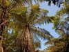 Palm Trees Along Heaphy Track @ Kahurangi National Park NZ