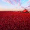 Panjin Red Beach China