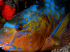 Parrotfish In The National Park