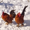 Pashu Vihar Snow Cocks