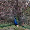 Peacock @ Auckland Zoo - North Island NZ