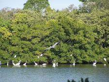 Pelicans At Weedon Island Preserve