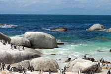 Penguins At Boulder Beach - SA