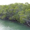 Pennekamp Mangroves - Key Largo FL