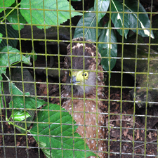 Philippine Serpent Eagle