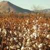 Picacho Peak With Cotton