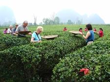 Picking Tea-leaves