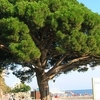 Pi Rodó Pine Beside A Beach