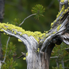 Plants Along Firehole Lake Drive - Yellowstone - USA