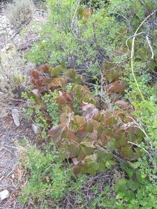 Poisonivy At Hendy Creek