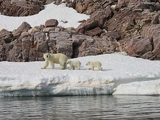 Polar Bear Mother & Cubs In Svalbard